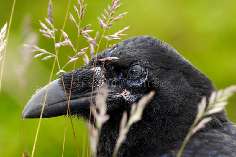 Detail portrait of raven hidden in grass. Black bird raven with open beak sitting on the meadow. Close-up of black bird with thick stock image