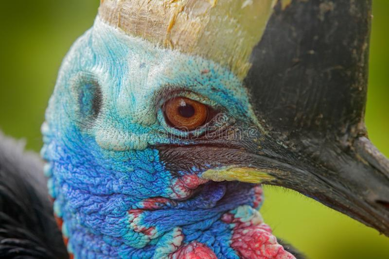 Detail portrait Southern cassowary, Casuarius casuarius, also known as double-wattled cassowary, Australian big forest bird, detai stock images