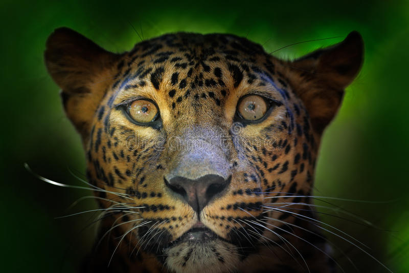 Detail portrait of wild cat. Sri Lankan leopard, Panthera pardus kotiya, Big spotted cat lying on the tree in the nature habitat, royalty free stock photo