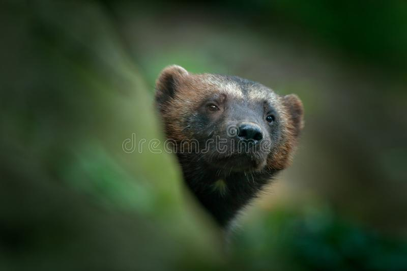 Detail portrait of wild wolverine. Face portrait of wolverine. Hidden Wolverine in Finland tajga. Animal in stone forest. Raptor i stock image