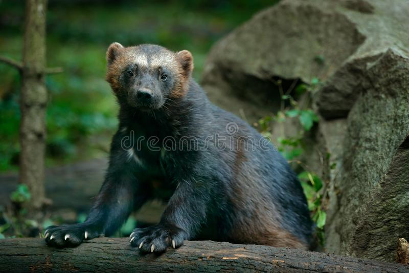 Detail portrait of wild wolverine. Face portrait of wolverine. Running tenacious Wolverine in Finland tajga. Danger animal in the. Habitat stock photos