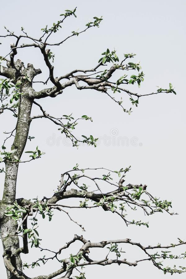Detail of pruned quince tree stock image