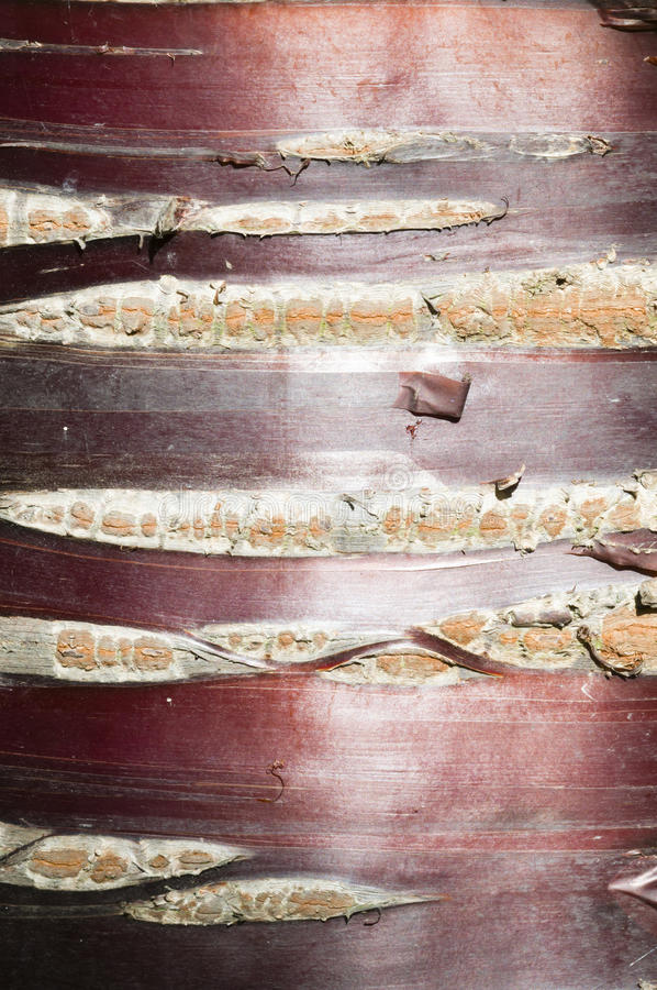 Detail Of Prunus Tree Bark Royalty Free Stock Photography