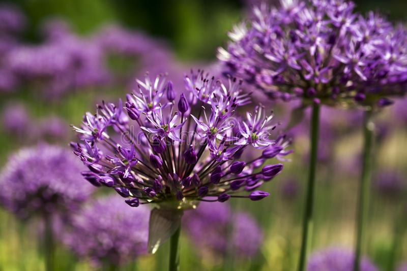 Purple flowers close-up royalty free stock images