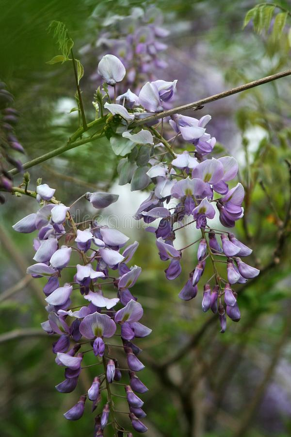 Detail of purple wisteria vine in full bloom. This vigorous plant may surprise some, with its late-spring crop of abundant, pea-flower shaped fragrant blooms stock photography