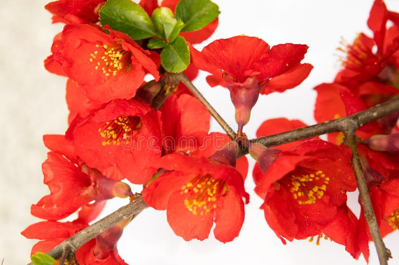 detail of quince flower stock photos