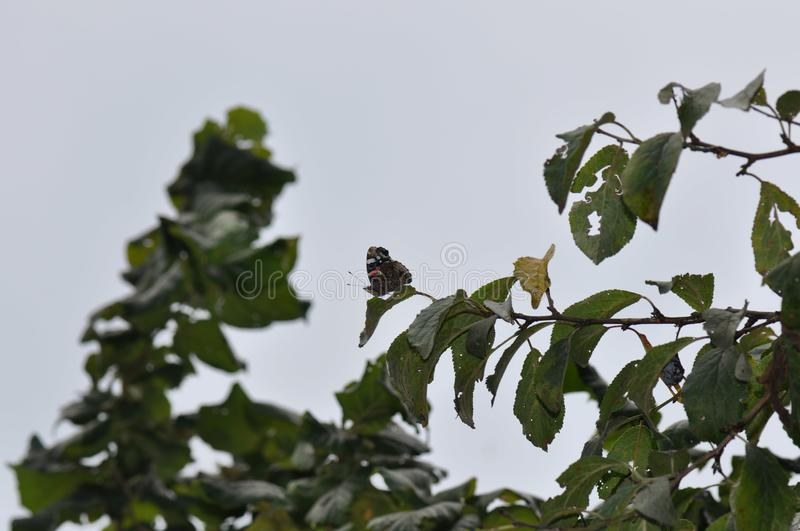 Red Admiral Butterfly on a leaf royalty free stock photo