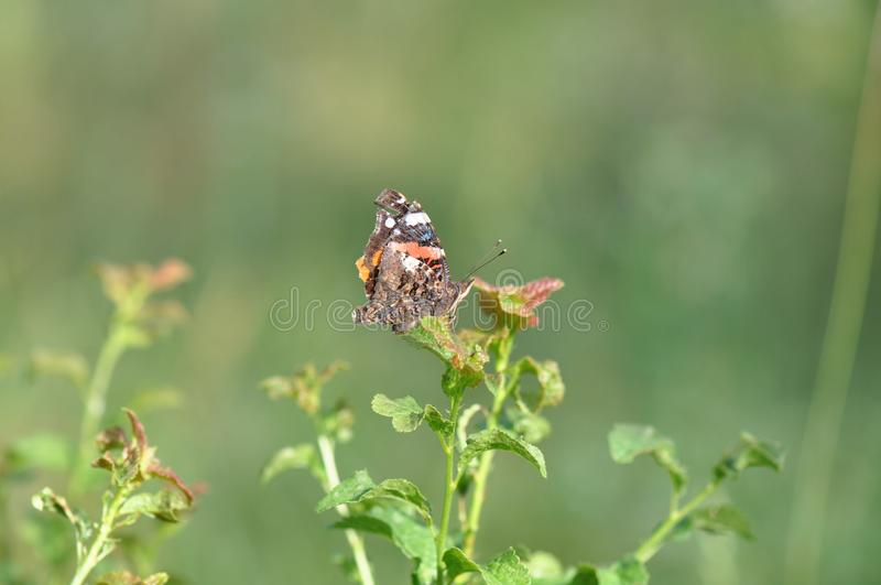 Red Admiral Butterfly detail. Detail of Red-Admiral Butterfly warming under the sun rays stock photography