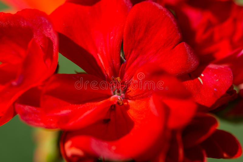 Detail red petals of a flower royalty free stock photo