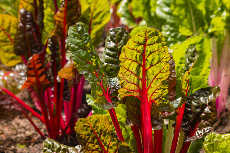 Detail of red swiss chard leaves in garden. Detail of red swiss chard leaves growing in garden royalty free stock photo
