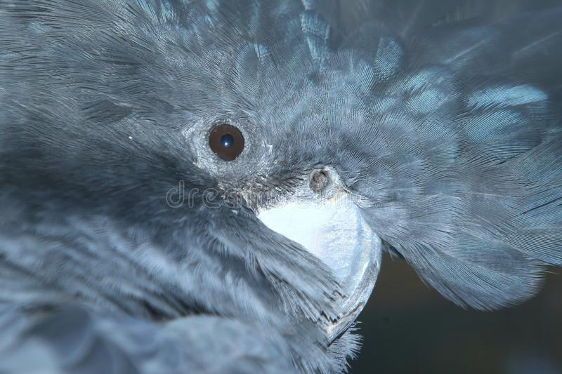 Red-tailed black-cockatoo stock photography