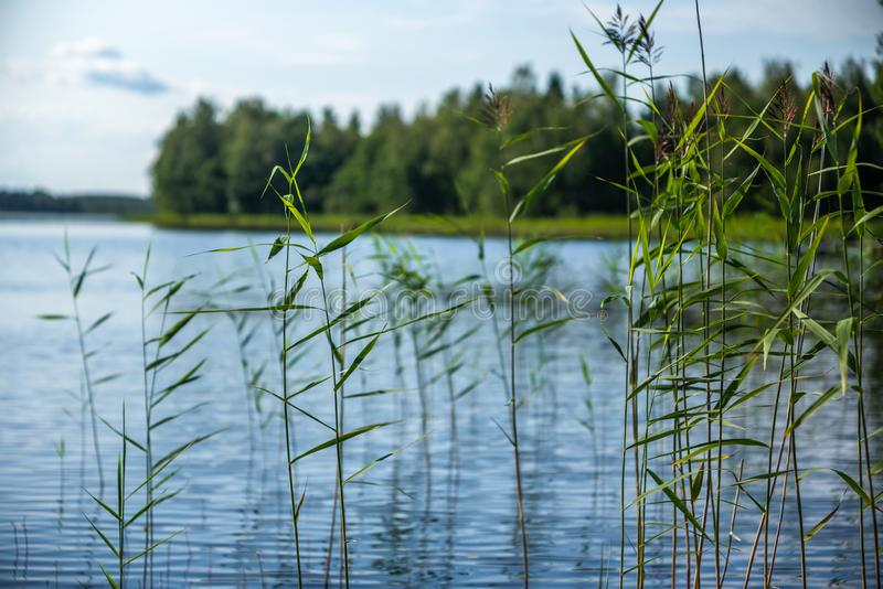 Detail of reeds plants on the shores of the calm Saimaa lake in Finland. 1 stock images
