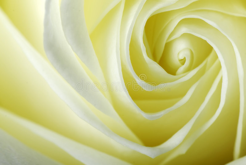 Download Detail of a rose stock photo. Image of blade, nature, yellow - 5491584