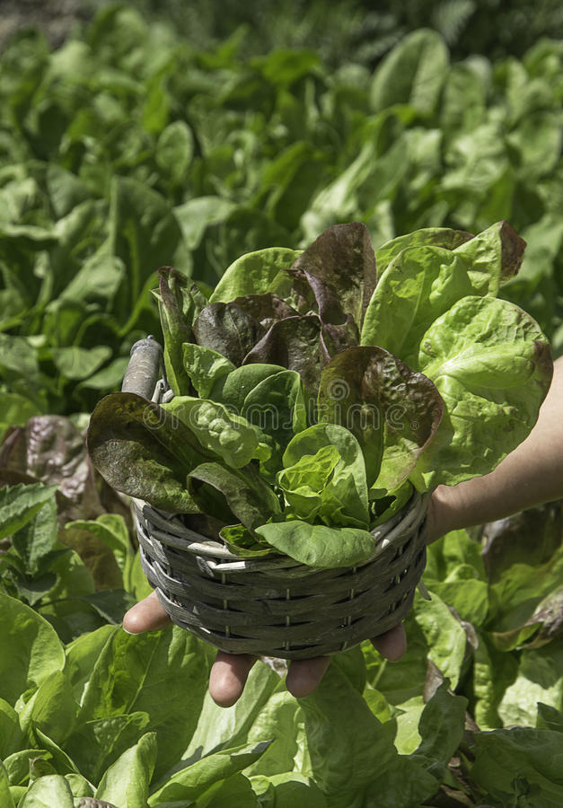 Detail of salad in a basket. Basket in a field of green salad in a sunny day stock photos