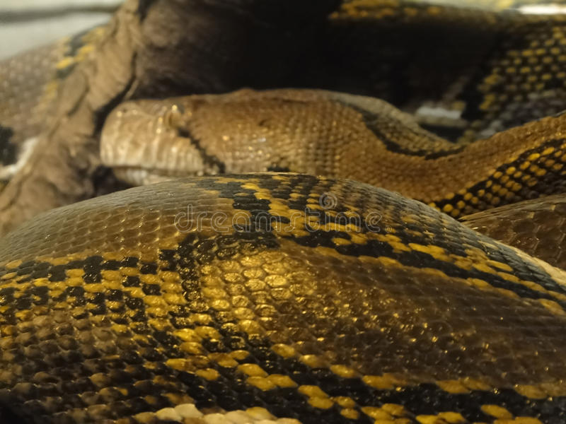 Detail, scales of an anaconda stock image