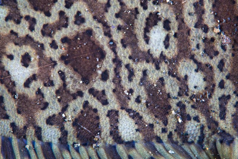 Detail of Fish Scales on Kai Sole in Indonesia stock images