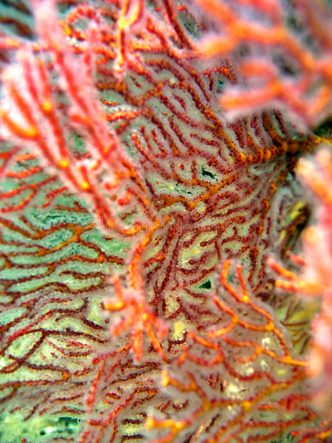 Detail - Sea Fan royalty free stock photos