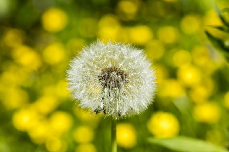 Detail on a seed head of a dandelion flower with blurred yellow flowers in the background royalty free stock photo