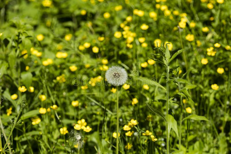 Detail on a seed head of a dandelion flower with blurred yellow flowers in the background stock images