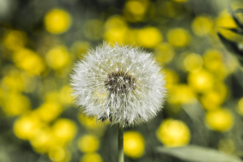 Detail on a seed head of a dandelion flower with blurred yellow flowers in the background and desaturated gray-green leaves royalty free stock images