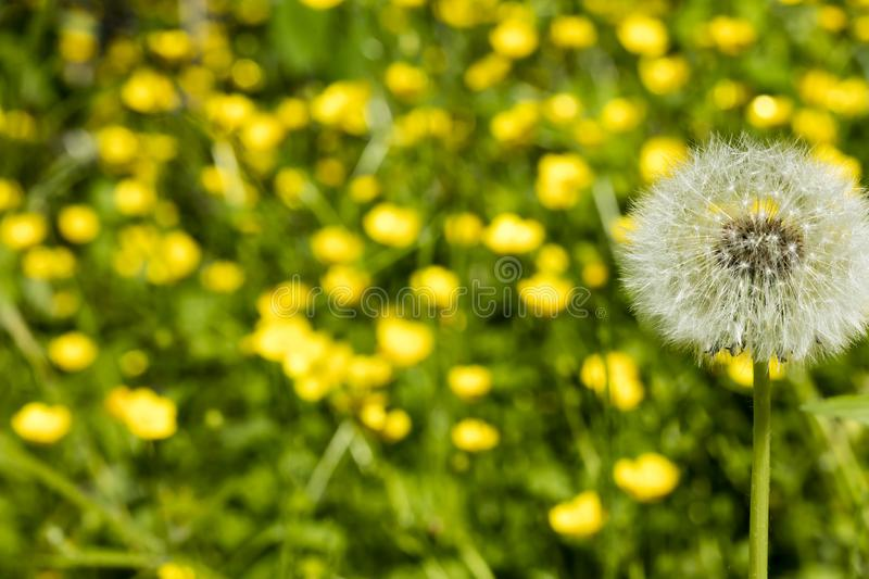 Detail on a seed head of a dandelion flower with blurred yellow flowers in the background royalty free stock photography