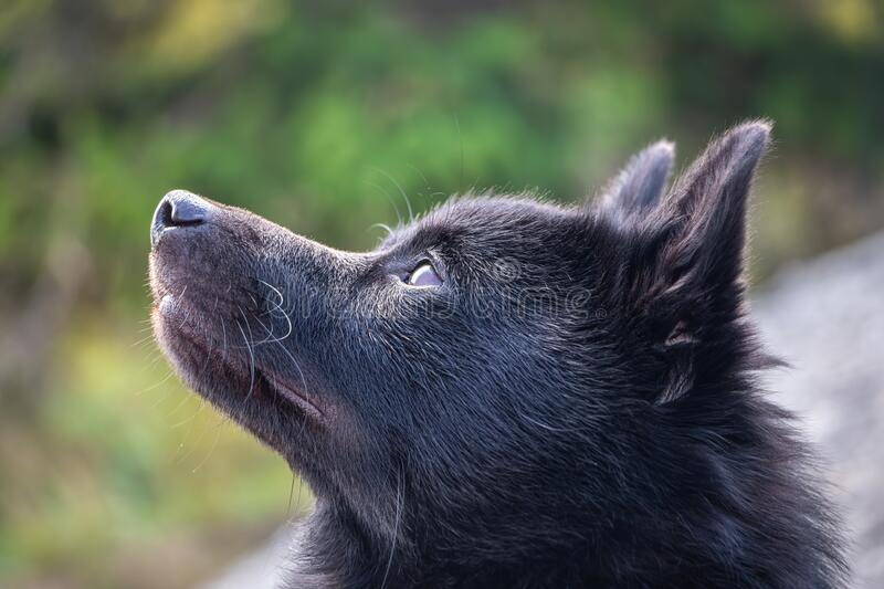 Detail shot of black schipperke dog face with blurred background royalty free stock photography
