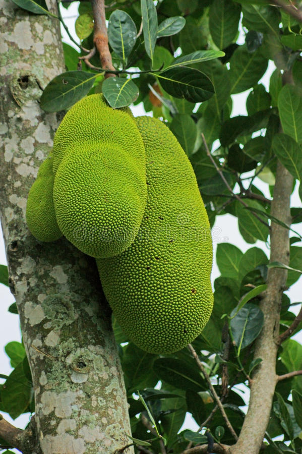 Jackfruits in Uganda stock images
