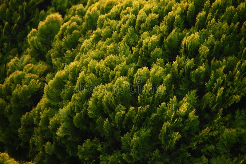 Detail in the small cypress forest. Details in the small forest of lush evergreen cypress,  family Cupressaceae, trees royalty free stock photos
