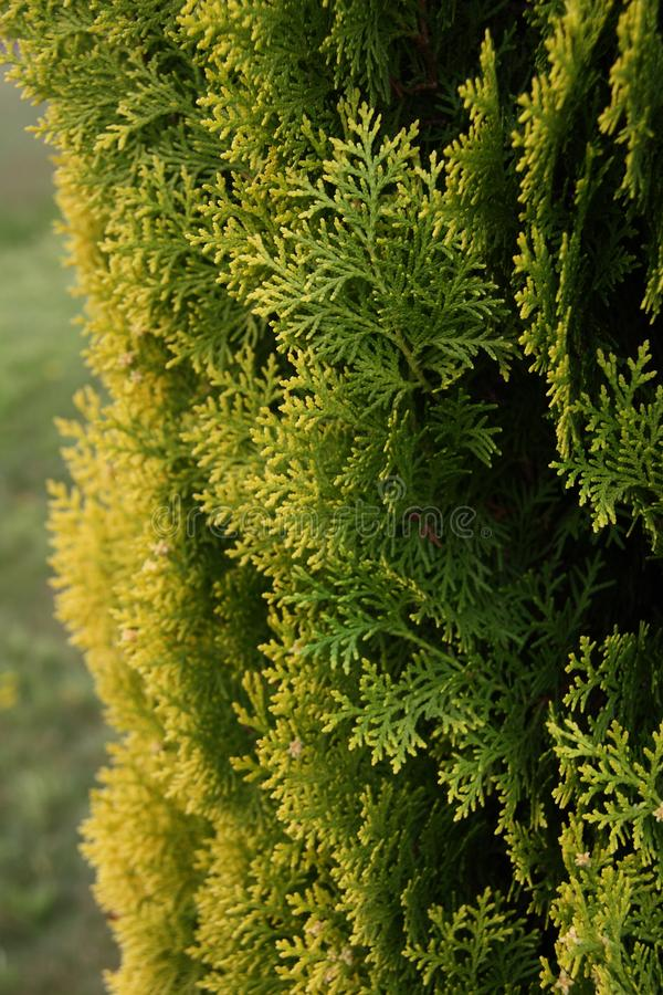 Detail in the small cypress forest. Details in the small forest of lush evergreen cypress,  family Cupressaceae, trees stock photo