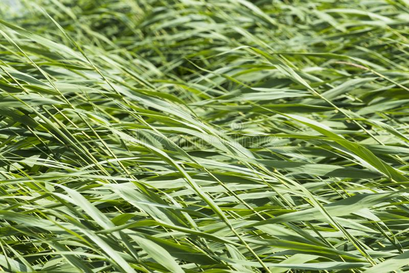 Detail of reeds bowed by the wind stock photo