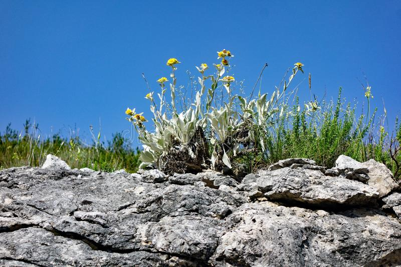 Sparse Weeds and Weathered Rocks, Croatia. Detail of sparse weeds and weathered and eroded dry rocks, a micro landscape, Croatia, with a clear blue summer sky stock photography