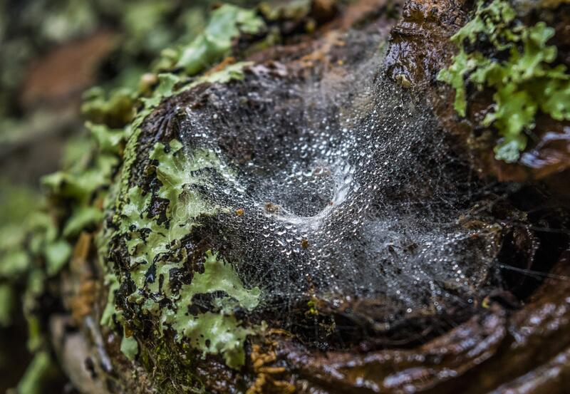 Raindrops in the spider web on a tree royalty free stock photography
