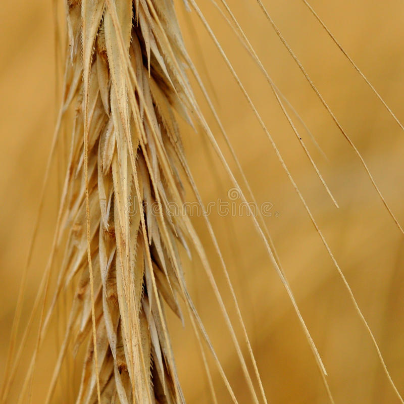 Detail of spike. Detail view of spike. Agriculture and Farming Collection royalty free stock image