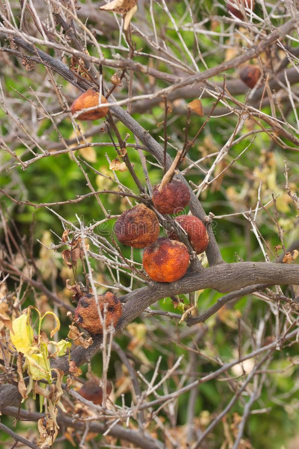 Sick orange tree with aged oranges stock images