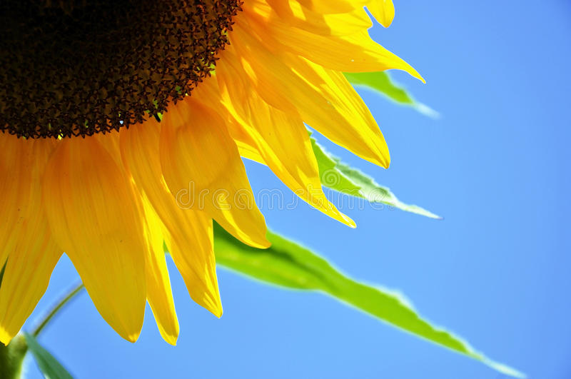 Detail of a sunflower blossom royalty free stock photo