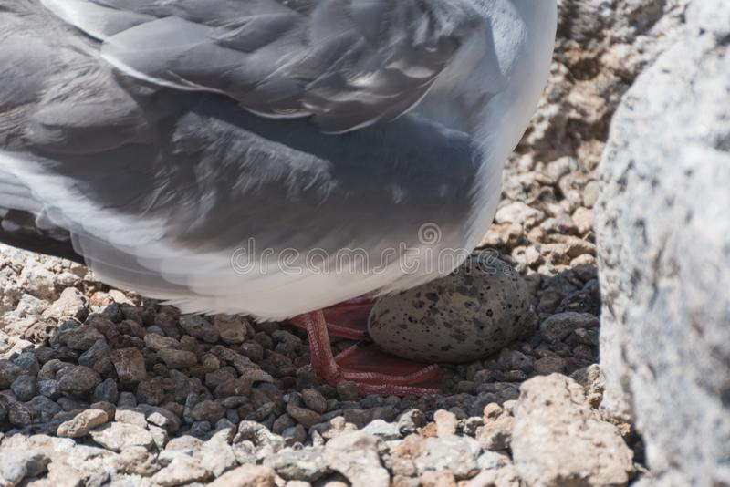 Swallow tailed gull with its egg on South Plaza, Galapagos Island, Ecuador, South America royalty free stock photography