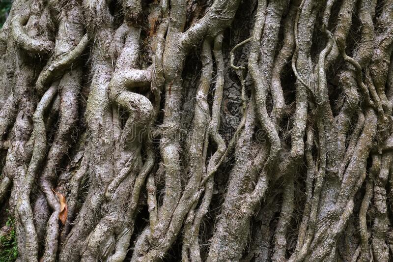 Strange Tree  Covered in  Woody Ivy Stems stock photos