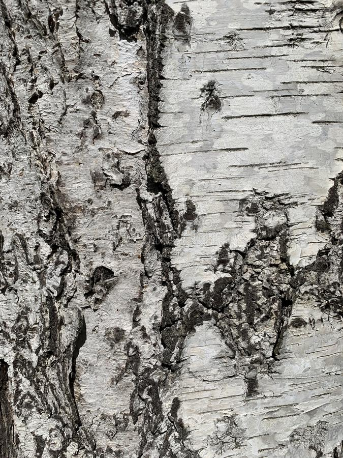 Birch tree bark. Detail of texture of birch tree bark, silver birch Betula pendula royalty free stock photos