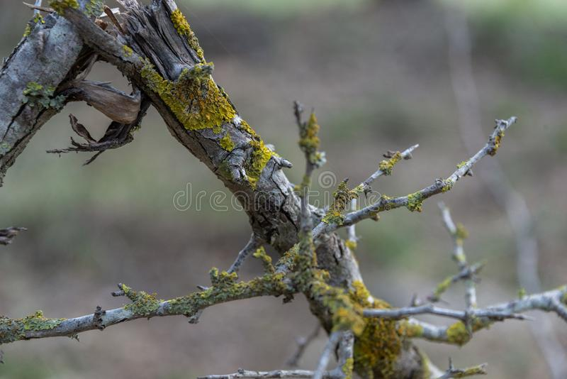 Detail of the texture of a broken and dried branch with lichens in the middle of the forest stock image