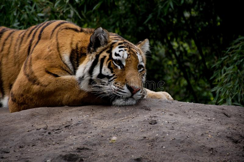 Detail of tiger lying on the stone and deeply staring. royalty free stock image