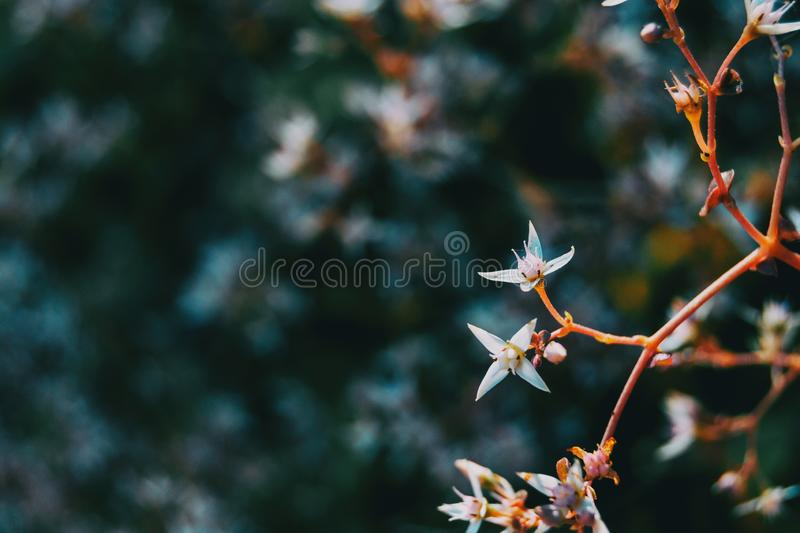 Detail of two white sedum album flowers on a branch stock photography