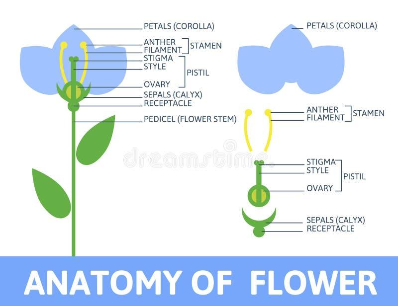 Detail van anatomiebloem vector illustratie