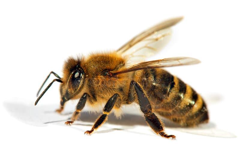 Detail van bij of honingbij, Apis Mellifera stock afbeeldingen