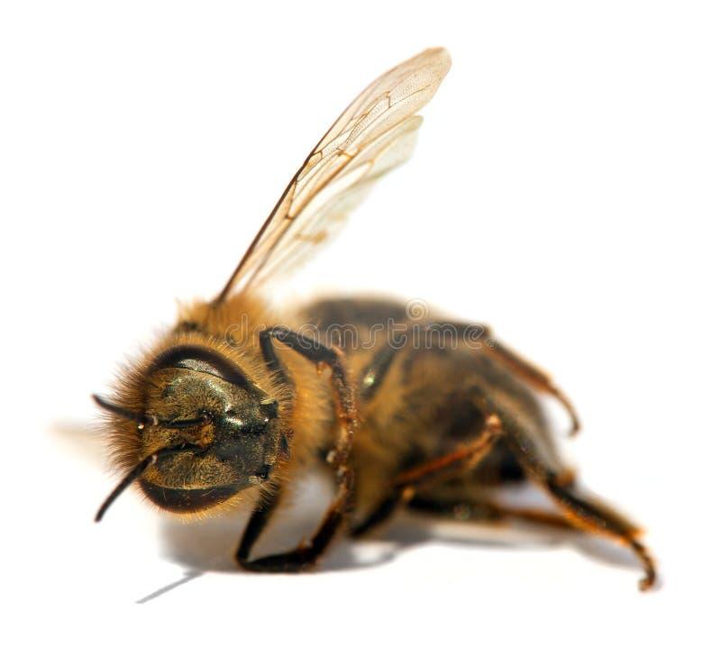 Detail van bij of honingbij, Apis Mellifera stock foto's