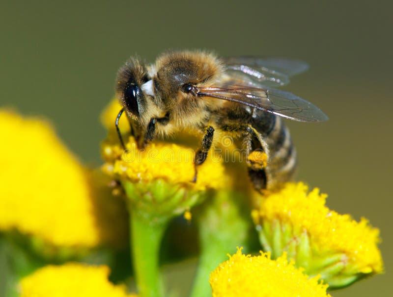 Detail van bij of honingbij in de Latijnse westelijke die honingbij van Apis Mellifera, Europees of van de gele bloem wordt besto stock afbeelding