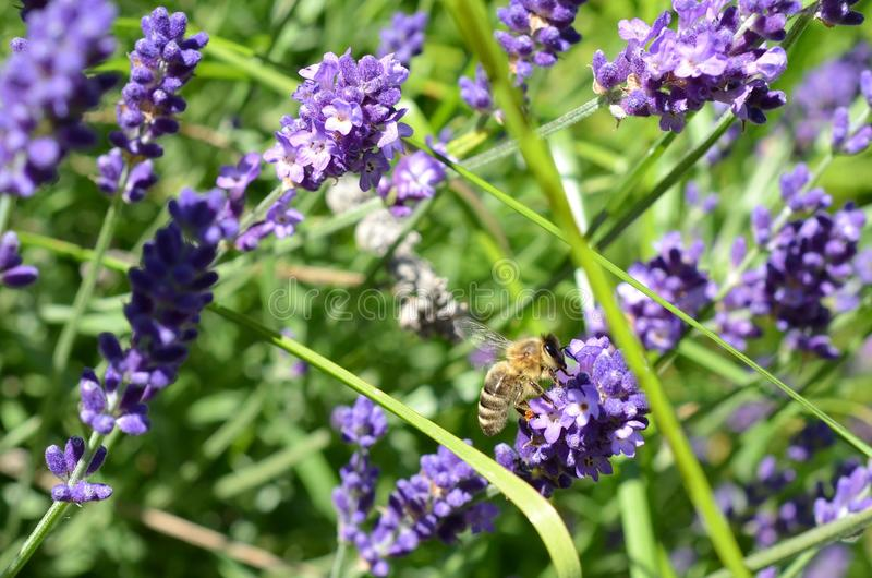 Detail van bijenzitting op lavendel royalty-vrije stock fotografie