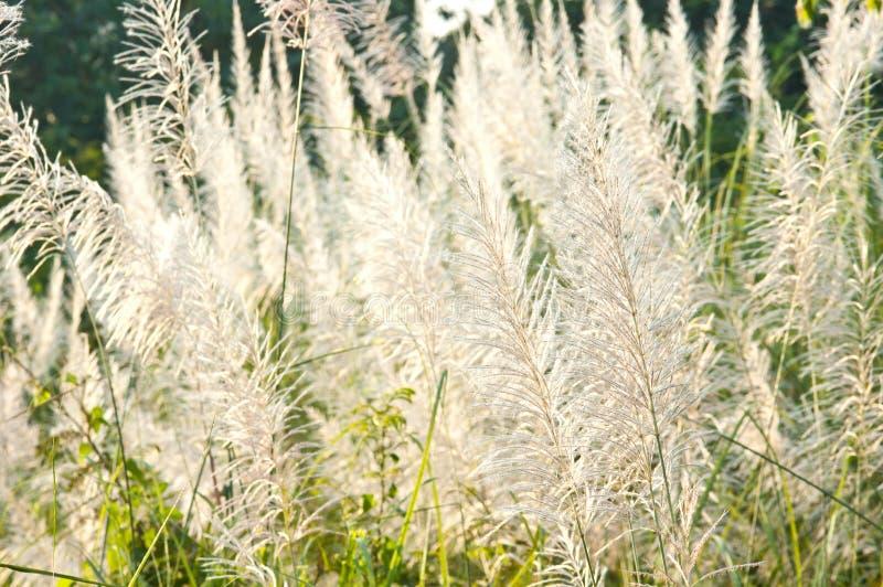Detail van bloeiende grasbloesems stock foto