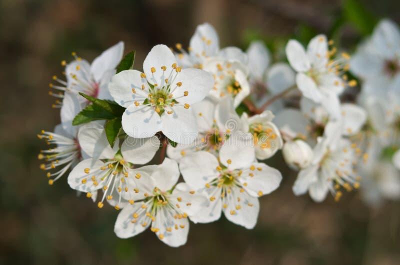 Detail van bloeiende reine-claude of damastpruimpruimboom royalty-vrije stock fotografie