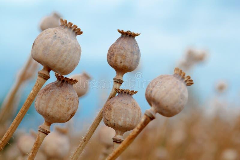 Detail van boom poppyheads op het gebied royalty-vrije stock fotografie