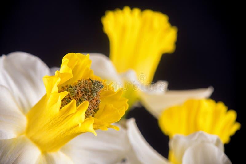 Detail van cannabisknop binnen een gele narcisbloem op blac wordt geïsoleerd die royalty-vrije stock fotografie